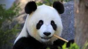 Pandalar Neden Çok Tembeldir?