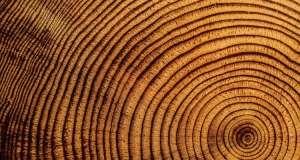 Bir ağaç kesitini plak gibi dinleyince ortaya çıkan inanılmaz müzik