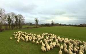Havlamayan, ısırmayan ve uçabilen çoban köpeği