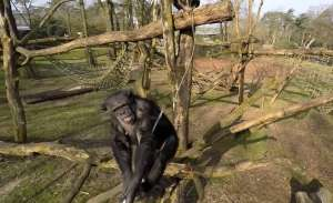 Şempanze Onu Görüntüleyen Bir Drone'u Düşürdü