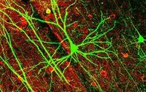 Bilim İnsanları Sentetik Nöron Üretti