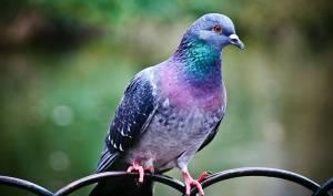 Güvercinler yönlerini nasıl buluyor?