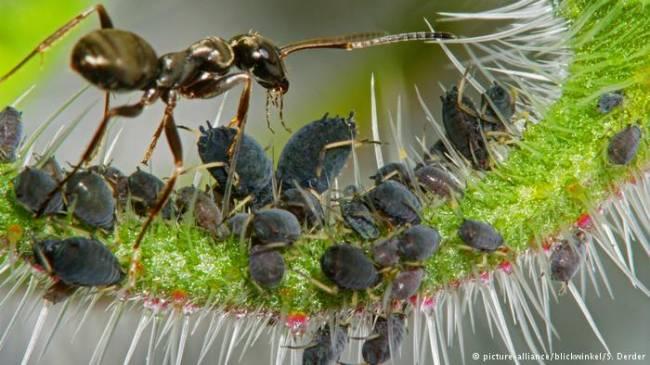 Kahve yetiştiren karınca türü keşfedildi