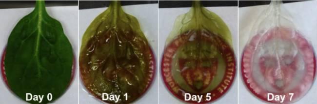 Ispanak Yaprağı Üzerinde İnsan Kalp Dokusu Üretildi