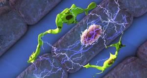 Bağışıklık Hücreleri Kalbin Çalışmasında Büyük Rol Oynuyor