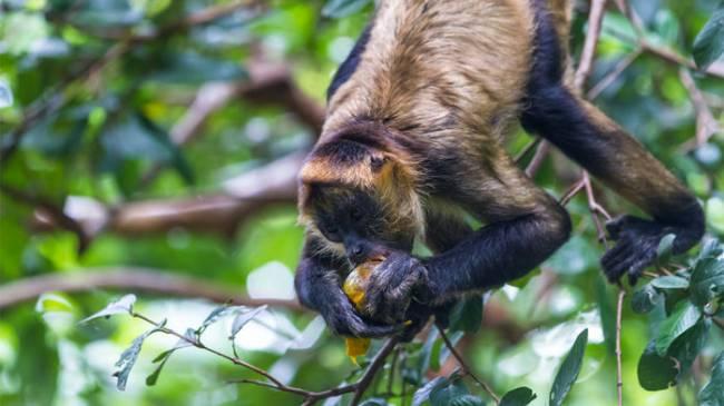 Primatlarda Beyin Gelişiminin Sorumlusu Meyveler Mi?