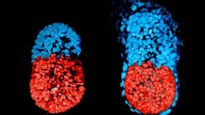 Dünyanın İlk Yapay Embriyosu Petri Kabında Üretildi